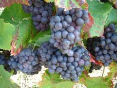 vigne-rouge1g.jpg